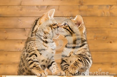 Two kittens sniff each other, against the background of a wooden