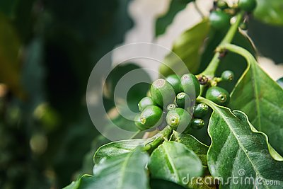 Coffea arabica fruit