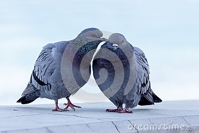 The pair of wild pigeons