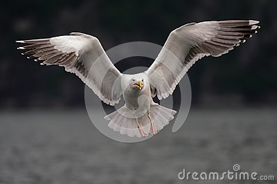 Great black backed gull are flying , norway