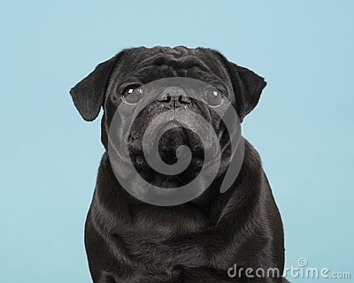 Portrait of a black pug looking at the camera on a blue backgrou