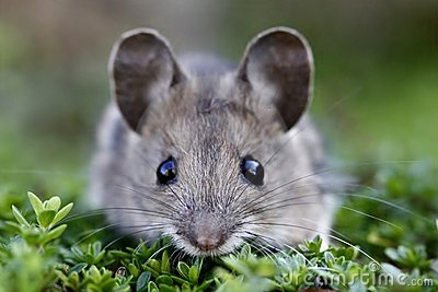 Scared house mouse