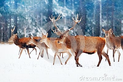 A noble deer with females in the herd against the background of a beautiful winter snow forest. Artistic winter landscape. Christm