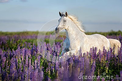 stock image of arabian horse running free on a flower meadow.