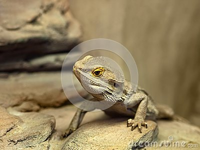 Bearded dragon agama lizard