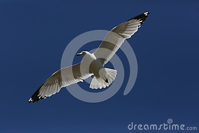 Flying Seagull on the sky