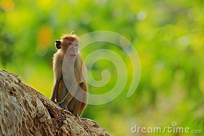 Toque macaque, Macaca sinica, monkey with evening sun. Macaque in nature habitat, Sri Lanka. Detail of monkey, Widlife scene from