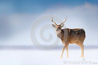 Hokkaido sika deer, Cervus nippon yesoensis, in the snow meadow, winter mountains and forest in the background, animal with antler
