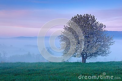 Beautiful spring in landscape. Foggy summer morning in the mountains. Blooming tree on the hill with fog. Tree from Sumava mountai