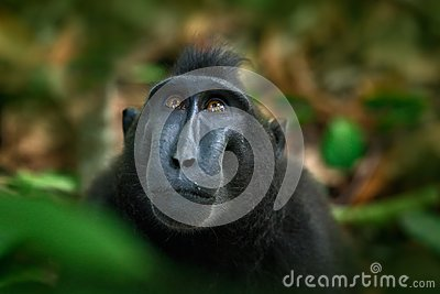 Celebes crested Macaque, Macaca nigra, black monkey, detail portrait, sitting in the nature habitat, dark tropical forest, wildlif