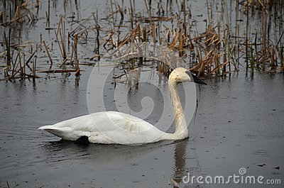 Migrating Trumpeter Swan in rain at NYS Montezuma National Wildlife Refuge