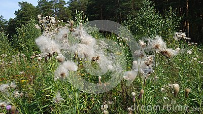 Dandelions in the summer