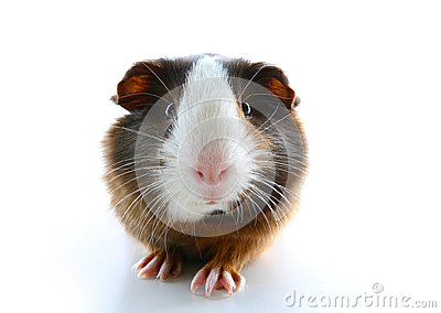 Cute little dutch guinea pig on studio white background. Isolated white pet photo. Sheltie peruvian pigs with symmetric pattern. D
