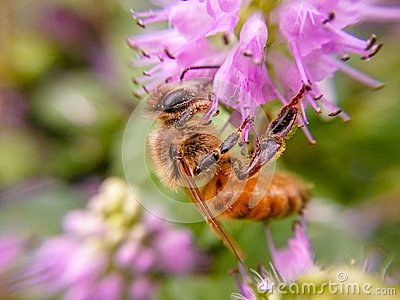 The bees that gather honey in purple flowers.