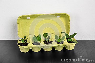 Cardboard eggs box used as container for growing plants