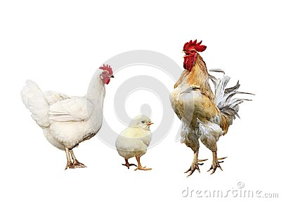 Family portrait poultry chicken, red rooster bright yellow littl