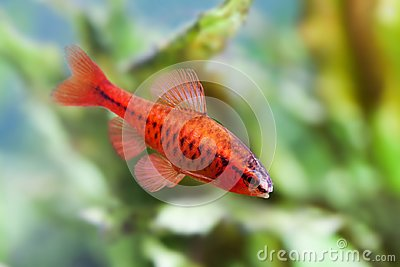 Beautiful red fish on soft green plants background. Male barb swimming tropical freshwater aquarium tank. Puntius