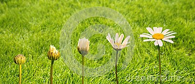 Stages of growth and flowering of a daisy, green grass background, life transformation concept