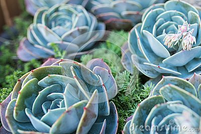 Photo of green and blue succulent. Some succulents out of focus