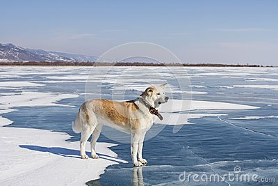 A beautiful purebred red-haired Japanese Akita Inu dog stands on the snow and blue clear ice of Lake Baikal in winter.