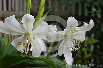 Cose up white lilly she more beautifull flowers