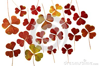 Brown dry pressed clover leaves isolated on white background. Herbarium. May be used in scrapbooking, floristry or oshibana.