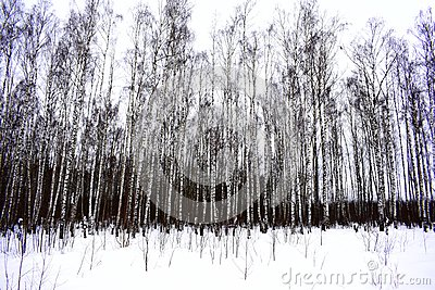 Winter forest landscape. White birches in the snow. White ground, white sky