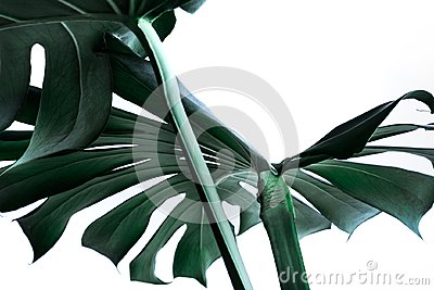 Real monstera leaves decorating for composition design. Tropical