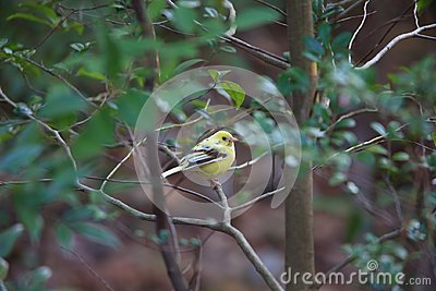 Black-faced bunting yellowish color variation in Japan