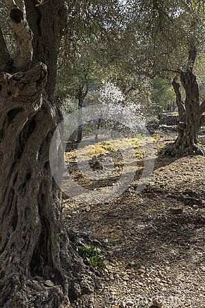 Olive Trees in a grove