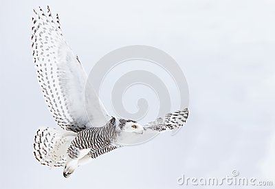 A Snowy owl Bubo scandiacus flying low and hunting over a snow covered field in Canada