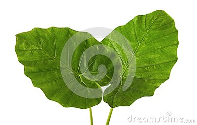 Colocasia leaf, Large green foliage also called Night-scented Lily or giant upright elephant ear isolated on white background