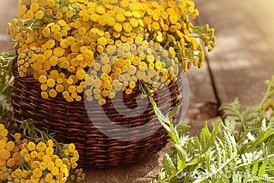 Tansy Tanacetum - perennial herbaceous plants Compositae Asteraceae . Herbs harvesting of medicinal raw materials