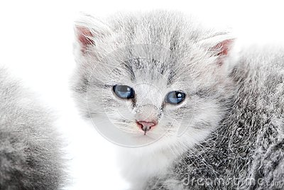 Small fluffy blue-eyed adorable grey kitten looking straight to the camera while posing in white studio for photoset