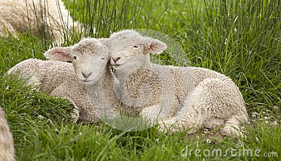 Cute cuddly fuzzy baby animals Spring lambs sheep siblings snugg