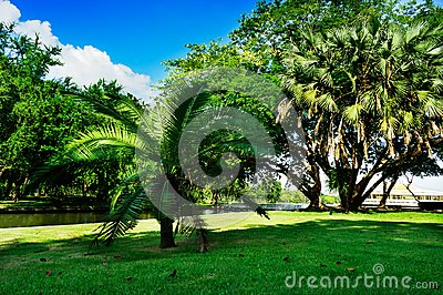 Bangkok, Thailand - October 28, 2016: Tree of dwarf in public park at Bangkok, Thailand.  Photography in blue sky day, greenness g