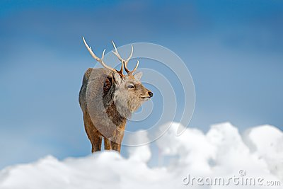 Hokkaido sika deer, Cervus nippon yesoensis, in snow meadow, winter mountains and forest in the background. Animal with antler in