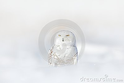Yellow eyes in white plumage feathers. Snowy owl, Nyctea scandiaca, rare bird sitting on snow, winter with snowflakes in wild Finl