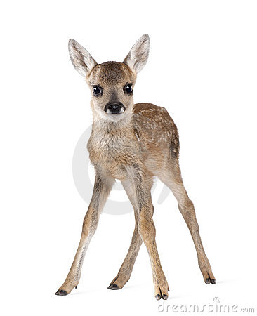 Roe Deer Fawn in front of a white background