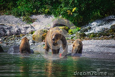 Kamchatka brown bear female and bear cubs catch fish on the Kuril lake. Kamchatka Peninsula, Russia.