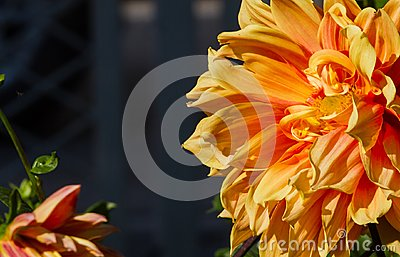 Dahlia spp originated in Mexico abroad the growing popularity of cut flowers, but in not appreciated.