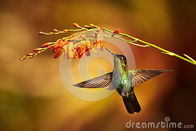 Fiery-throated Hummingbird, Panterpe insignis, shiny colour bird