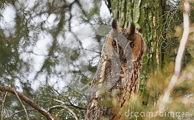Long eared owl also known as Asio otus with characteristic eye disks.