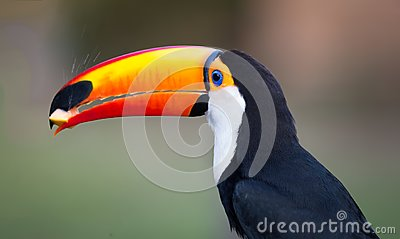Left profile shot of toco toucan in the wilds of Pantanal