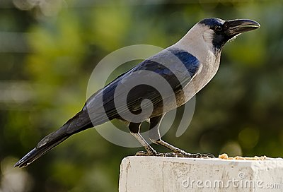 A common house crow