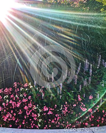 Sunbeams extend over flower garden in Chicago during springtime watering.