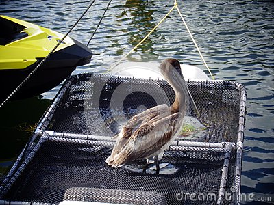 Pelican on netting in a marina