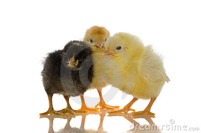 Cute baby chicks
