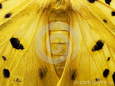 Yellow, black, and white moth in close up of wing, abdomen, and thorax isolated on white background