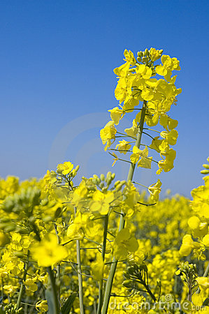 Oilseed rape 7